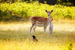 Fallow Deer and calf Royalty Free Stock Photography