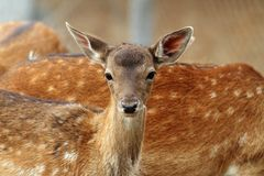 Fallow deer calf curious face Royalty Free Stock Image
