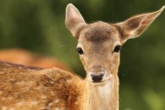 Fallow deer calf looking at camera Royalty Free Stock Image