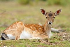Fallow deer calf relaxing Royalty Free Stock Photos