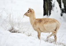 Fallow deer calf in winter. Side view of fallow deer calf in winter snow Stock Photo