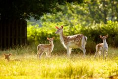 Fallow Deer and calfs Royalty Free Stock Photo