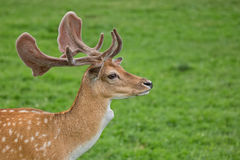 Fallow deer in a clearing, a portrait Royalty Free Stock Images