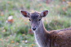 Fallow deer close up Royalty Free Stock Images