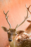 Fallow deer  close up Royalty Free Stock Photo