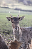 Fallow deer close up Stock Images