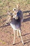 Fallow deer closeup Stock Photography