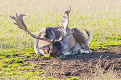 Fallow deer closeup Stock Images