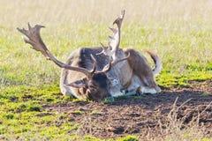 Fallow deer closeup Stock Images
