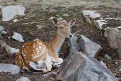 Fallow deer closeup in autumn Royalty Free Stock Photo