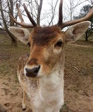 Fallow deer closeup. Young male fallow deer in the forest, kennemer waterleidingduinen in the netherlands Royalty Free Stock Photography