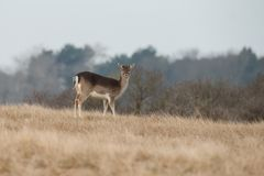 Fallow deer in water. Fallow deer on a cold winter day Royalty Free Stock Images