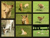 Fallow deer collage Royalty Free Stock Photo