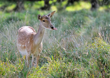 Fallow deer in countryside. Fallow deer stood in long grass of countryside field Royalty Free Stock Images