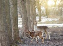 Fallow deer couple Stock Photos