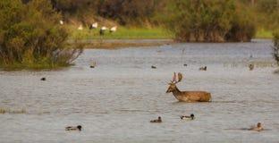 Fallow Deer crossing lagoon Royalty Free Stock Images
