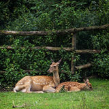 The fallow deer - cub with mother Stock Photography