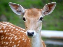 Fallow deer Stock Photos