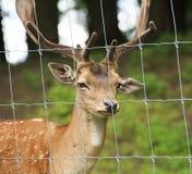 Fallow deer. In Czech Repablic Stock Photos