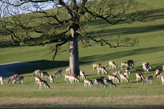 Fallow Deer, Dallam Deer Park, Milnthorpe, Cumbria. Herd of Fallow Deer, dama dama, grazing in winter sunshine on a hillside in Dallam Deer Park, Milnthorpe royalty free stock photography