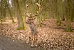 Fallow deer - Dama dama, alone in park Stock Image
