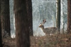 Fallow deer, Dama dama. Common fallow in forest and meadow scenery royalty free stock images