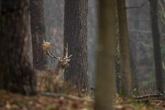 Fallow deer, Dama dama. Common fallow in forest and meadow scenery royalty free stock photography