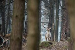 Fallow deer, Dama dama. Common fallow in forest and meadow scenery royalty free stock image