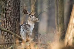 Fallow deer, Dama dama. Common fallow in forest and meadow scenery stock photos