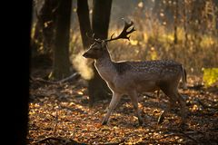 Fallow deer, Dama dama. Common fallow in forest and meadow scenery stock photo