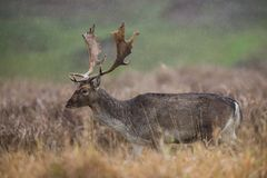 Fallow deer, Dama dama. Common fallow in forest and meadow scenery stock image
