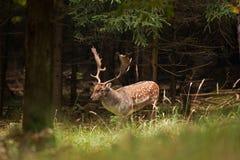 Fallow deer, dama dama, Czech republic. Deer, antler, fores, wild stock image
