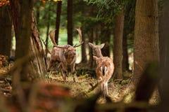 Fallow deer, dama dama, Czech republic. Deer, rutting, wild.antler, trophy stock image