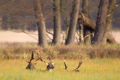 Fallow Deer Dama dama Royalty Free Stock Images