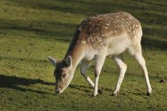 Fallow Deer - Dama dama. Young Fallow Deer - Dama dama Royalty Free Stock Image
