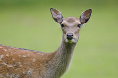 Fallow deer, dama dama Royalty Free Stock Image