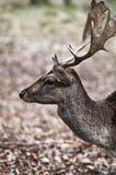 Fallow deer - Dama dama Stock Images