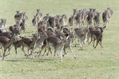 Fallow deer, dama dama Stock Images