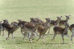 Fallow deer, dama dama Royalty Free Stock Photos