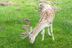 Fallow deer ( Dama dama ) Royalty Free Stock Photography