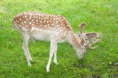 Fallow Deer ( Dama Dama ) Stock Image