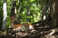Fallow Deer - Dama dama Royalty Free Stock Image
