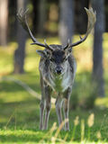 Fallow Deer (Dama dama) Stock Images
