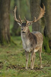 Fallow Deer (Dama dama) Stock Photography
