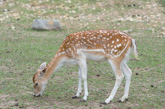 Fallow Deer (Dama dama) Royalty Free Stock Photos