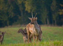 Fallow deer - Dama dama Stock Images