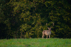 Fallow deer - Dama dama Royalty Free Stock Photo