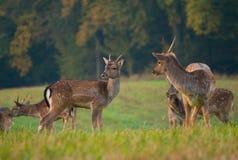 Fallow deer - Dama dama Stock Photography