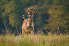 Fallow deer - Dama dama Stock Photos