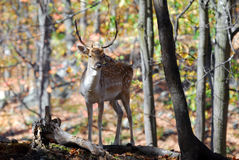 Fallow Deer (Dama dama) Royalty Free Stock Photography